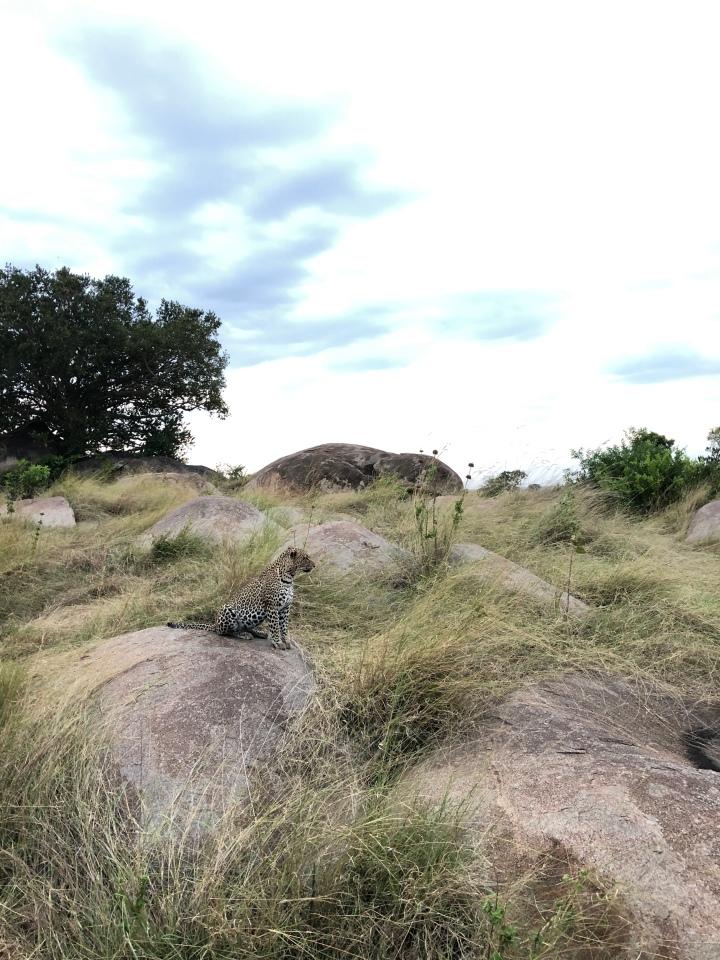 Leopard sighting in the serengeti