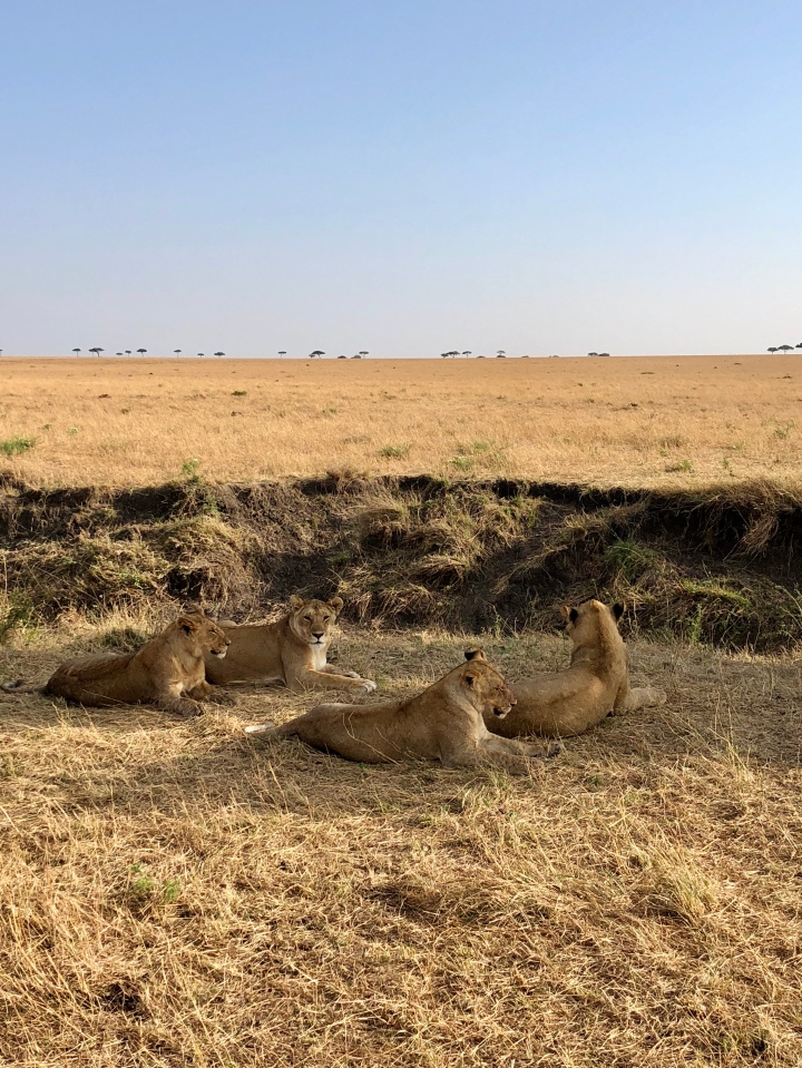 female lion pride in serengeti