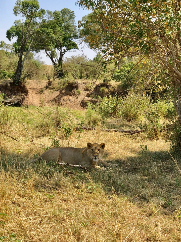 male lion sighting in serengeti