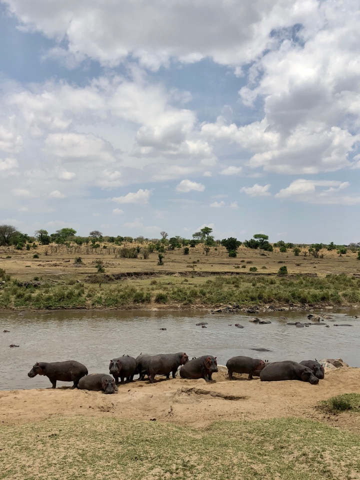 hippopotamus sighting in serengeti