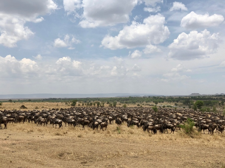wildebeest during great migration