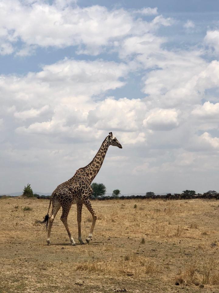 giraffe sighting in serengeti
